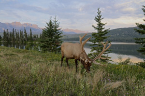8 In and around both Jasper and Banff, spectacular wildlife sightings aboundsm